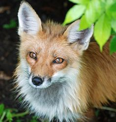 Portrait of a Red Fox Photo by shelley Jacques — National Geographic Your Shot