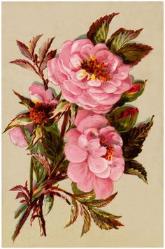 Free Vintage Pink Roses Image - The Graphics Fairy