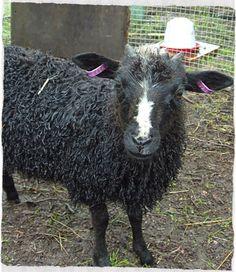 Tämä on Mande,Nelson Mandelan mukaan nimetty suloisista suloisin lammas <3