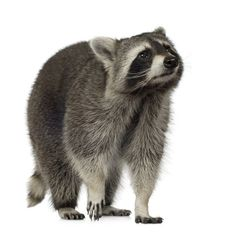 Risks of raccoons on your property: ...