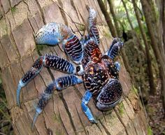 Maior artrópode terrestre do mundo. Conheça o incrível Caranguejo Coco que se destaca por seu tamanho | Jornal Ciência