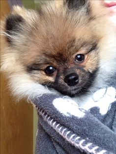 Timber the pomeranian puppy #pomeranian #puppy #Timber