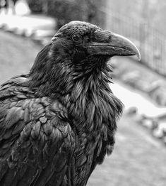 Raven by tjblackwell.deviantart.com on @deviantART