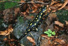 Nella simbologia e nelle credenze popolari la salamandra ha le sembianze di una creatura che vive nell'elemento fuoco al fine di infondergli vita e proteggerlo.