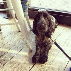 Hi Alex! I'm visiting @labottegamilanese today #cockerspaniel #cockersofinstagram #blueroan #dog #coffee #leeds