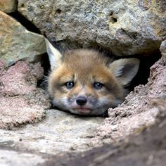 FoX CuB by Roger on 500px Baby fox in his lair