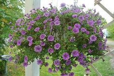 lumiukon mietteitä, puutarhassa miljoonakello täydessä kukassa edelleen syyskuussa