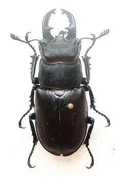Lucanidae Beetle  (Lucanus Tetraodon, Insect Collection, Mounted Beetles)