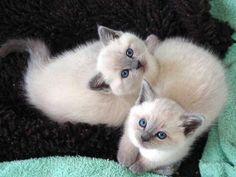 blue point kittens
