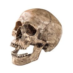 Find Sideview Human Skull Open Mouth On stock images in HD and millions of other royalty-free stock photos, illustrations and vectors in the Shutterstock collection. Thousands of new, high-quality pictures added every day. Skull Open Mouth, Tulip Drawing, Skull Reference, Skull Anatomy, Mouth Drawing, Surreal Artwork, Object Drawing, Metal Engraving, Human Skull