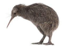 kiwi bird - Google Search