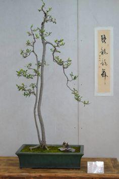 Bonsai estilo literati bonsailandscapes photos for Literati bonsai gallery
