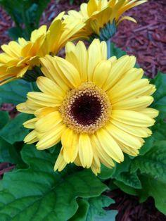 Sunshine Yellow Gerber Daisy