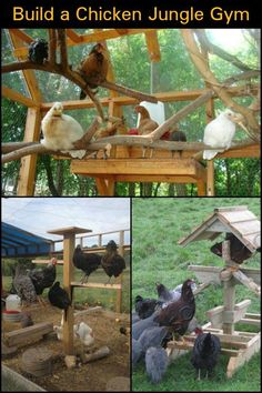 Keep your Chooks Happy and Healthy by Making them a Chicken Jungle Gym
