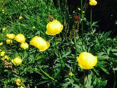 Wusstet ihr: Dass die Dotterblume das Hotel für Insekten ist? #blumen #wildblumen #kräuer #natur #kräuterwissen #kräuterhexe #zillertal #bergland
