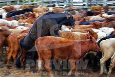 Rebanho de gado bovino ....