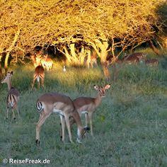 Über Instagram hier eingefügt #mongena http://ift.tt/1ZNAWt1 - Malariafreie #Wildreservate in #südafrika #southafrica #malariafree #gamereserves #wb1001rb #wbesaesa @south_africa_through_my_eyes #wbpinsa #safari #photographicsafari #urlaub #holiday #photooftheday #reisen #afrika #africa #travelblogger #germanbloggers #reiseblogger #safarilodge #malariafreesafari #gamereservesouthafrica #africa_nature #nature_africa