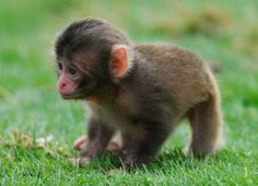Zoo Babies 2012: April - Japanese Macaque (Nihonzaru) Between April 21 and 25, the Highland Wildlife Park in Scotland had a baby monkey boom. Three little Japanese macaques (Macaca fuscata) were born during that time, all to three different moms. The species, which are also called snow monkeys, are found throughout Japan, where the live in large groups in wooded areas. They have bright red faces and white fur that make them easy to recognize. (photo: Jon-Paul Orsi) (via: Our…