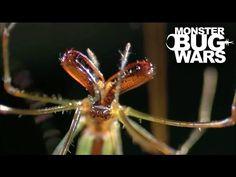 Portia Spider Vs Long Jawed Orb Weaver | MONSTER BUG WARS - YouTube