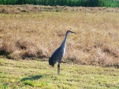 Sand Hill Crane...want to go see them on the Platte River as they pass thru during migration
