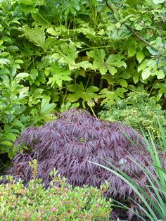 Acer 'Inabe Shidare' in the centre backed by Fatsia japonica with an Azalea in the foreground.