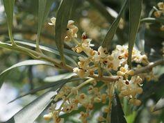 Fleurs d'olivier - Fleur de Bach