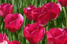 Gorgeous tulips at central park