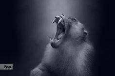 Le Roi des Singes by Sham Jolimie on 500px