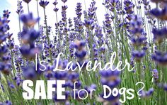 Lavender is known fo