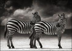 """""""ZEBRAS TURNING HEADS, NGORONGORO CRATER 2005"""" by Nick Brandt (Amazing Wildlife Photographer)"""