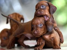 Adorable Dachshund Puppies. For more cute puppies, check out our youtube channel: https://www.youtube.com/channel/UCH7efODYtEdnWfAm1eS4NMA