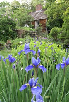 an English garden gone awry, with these blue iris, peonies, lily of the valley, fragrant white lilacs, iceland poppies and someone to take care of it all