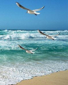 Seagulls flying together at the beach on the ocean. Seagulls Flying, Flying Together, Open Water, Water Crafts, Sailing, Ocean, Beach, Gallery, Paisajes