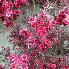 verdeesvida :: Leptospermum Scoparum - Cuentan que fue el legendario capitán James Cook en su segundo viaje a los Mares del Sur quien llamó árbol del té al Leptospermum, después de beber una infusión preparada por los aborígenes. Los maoríes empleaban las hojas de la manuka (el nombre nativo) en medicina natural por sus propiedades antimicrobianas.