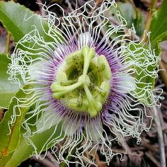 PURPLE PASSION FLOWER PASSIFLORA EDULIS 10 seeds by Tropical Oasis. $2.81. edible fruit. hardy zone 8-11. perfect as container and house plant. Of all the flowering vines, Passion Flower bear some of the showiest blooms on earth. An easily grown plant, Passion Flower look absolutely stunning in the garden or inside as a year-round houseplant. Purple Granadilla, is a vigorous and free flowering deciduous climbing perennial vine which grows up to 20 feet long at maturity...