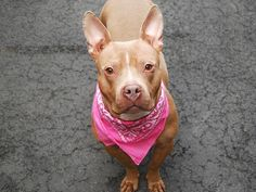 Manhattan Center   ALYA - A1031579   FEMALE, TAN / WHITE, PIT BULL, 2 yrs STRAY - STRAY WAIT, NO HOLD Reason STRAY  Intake condition EXAM REQ Intake Date 03/28/2015, From NY 10454, DueOut Date 03/31/2015,