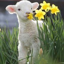 Lamb and daffodils...