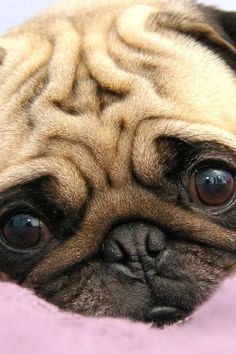 I have someting in common with this little pug...my face is beginning to look just about as wrinkled! Ha!