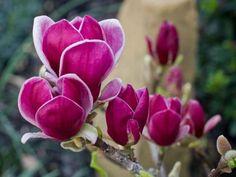 Magnólia Genie | Magnolia Genie (80-100 cm)