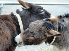 Chocolate & Brewster grooming each other in the sun @islandfarmdonks http://www.donkeyrescue.co.uk/adopt-a-donkey