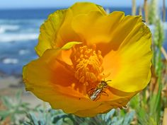 Poppy Closeup (Spring beach flowers insects sky water ). Photo by Feather3
