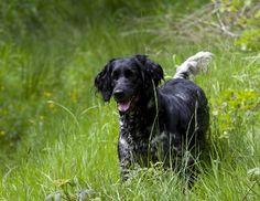 Large Munsterlander | Pets News