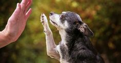 Teaching an old dog new tricks a great way to keep your dog mentally stimulated and having fun throughout his life. Here are some ideas with videos for guidance