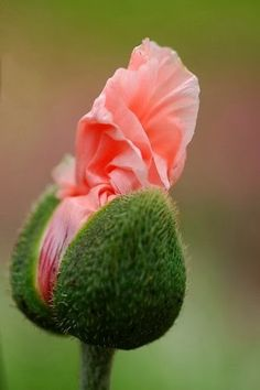 Oriental Poppy opening. such a beautiful representation of life beginning. perfect.
