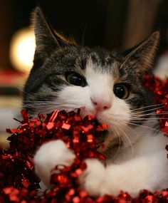 27 gatos que acham que são enfeites de Natal | Tá Rolando