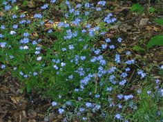Forget-Me-Not  For a touch of true blue, I relied on the common Forget-Me-Not. Yes, this Myosotis sylvatica can be invasive. But in a woodland garden, who cares?