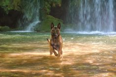 The prettiest dogs on the planet! Belgium Malinois, Belgian Malinois Dog, Most Beautiful Dogs, Easiest Dogs To Train, Shiloh, Mixed Breed, Working Dogs, I Love Dogs, Cute Animals