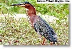 Green-backed Heron http://birds-of-tobago.blogspot.com/2013/10/green-backed-heron.html  #Green-backed Heron #Green Heron #herons #wading birds #birds #Tobago #Trinidad & Tobago #West Indies #Caribbean