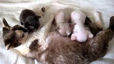 litter O, devon rex kitten, 26 days, 2 -male, 1- female, Devonland devon...