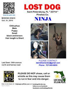 Lost Dog - Chihuahua - Saint Petersburg, FL, United States